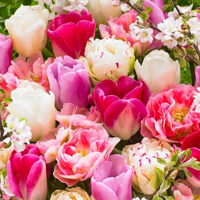 Pink and White Tulpen Mischung