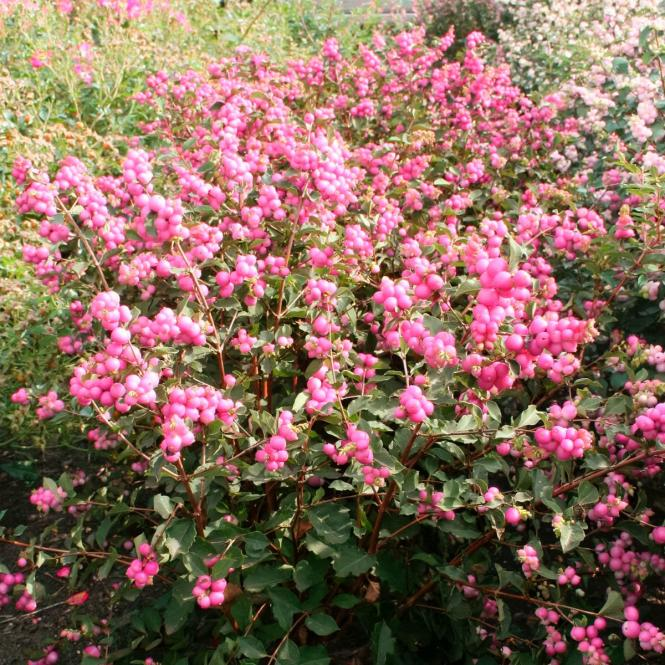 Rosa Schneebeere Magical® Candy