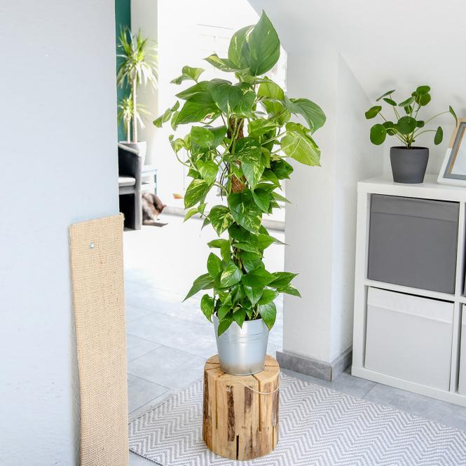 Kletterphilodendron am Moosstab