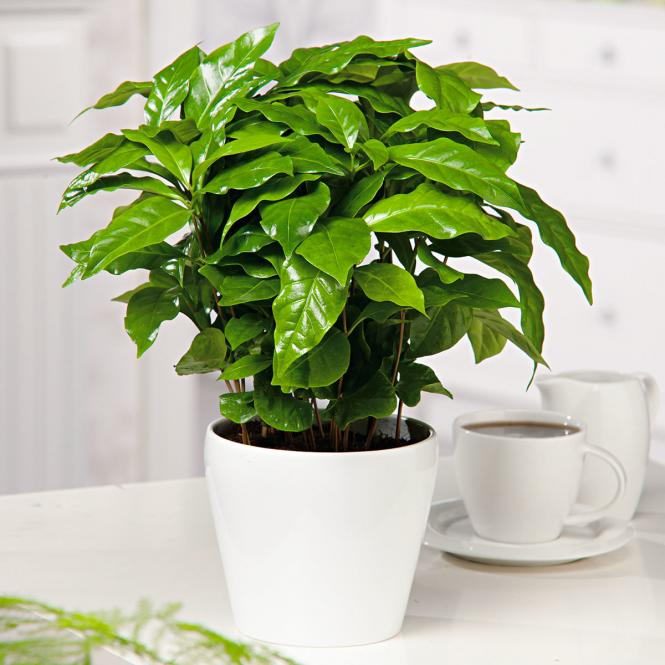 Coffea Arabaica